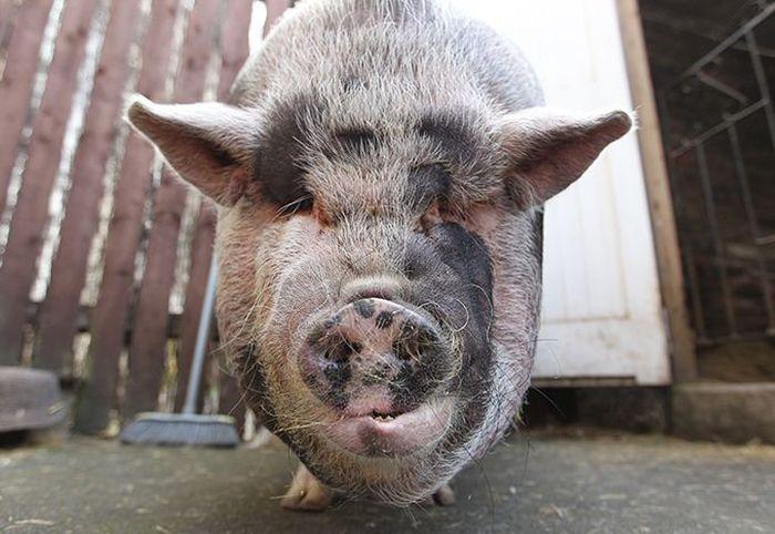 big_pig_07