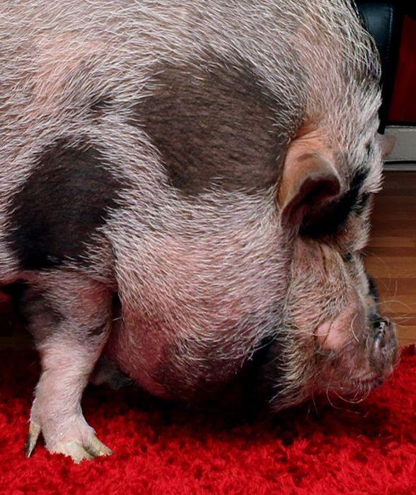 big_pig_08