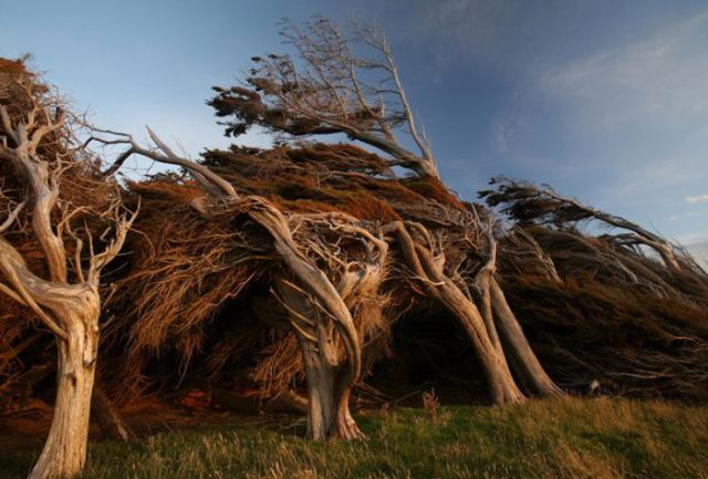 antarctic_winds_give_these_trees_unusual_shapes_640_03