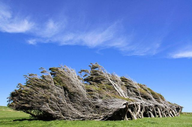 antarctic_winds_give_these_trees_unusual_shapes_640_06