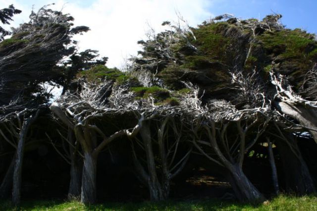 antarctic_winds_give_these_trees_unusual_shapes_640_08