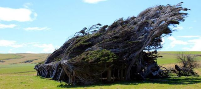 antarctic_winds_give_these_trees_unusual_shapes_640_11
