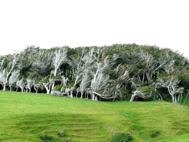 antarctic_winds_give_these_trees_unusual_shapes_640_14