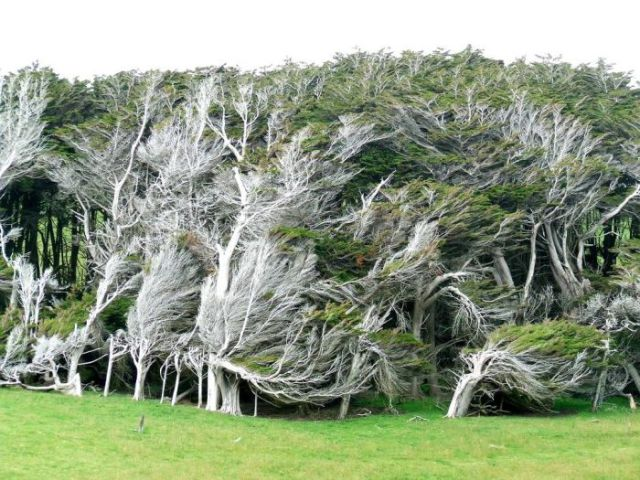 antarctic_winds_give_these_trees_unusual_shapes_640_16