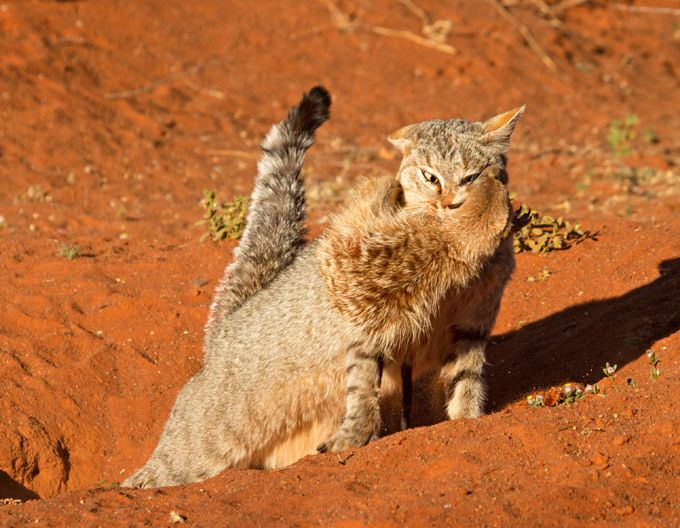 cat_surikat_02