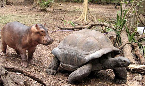 tortoise_hippo_02