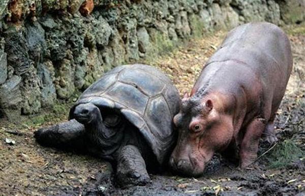 tortoise_hippo_04