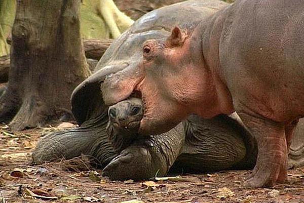 tortoise_hippo_06