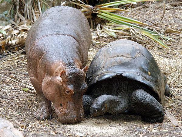 tortoise_hippo_07