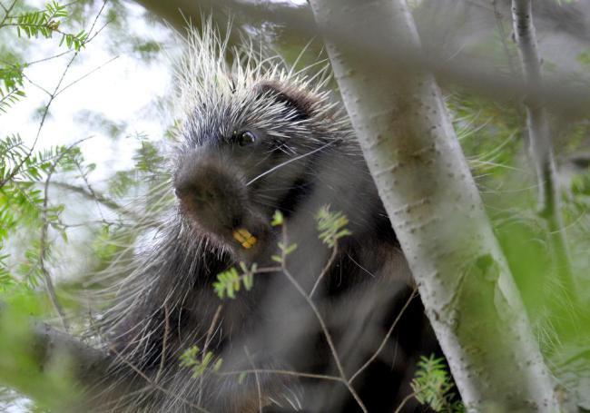 400_porcupine_quills_02