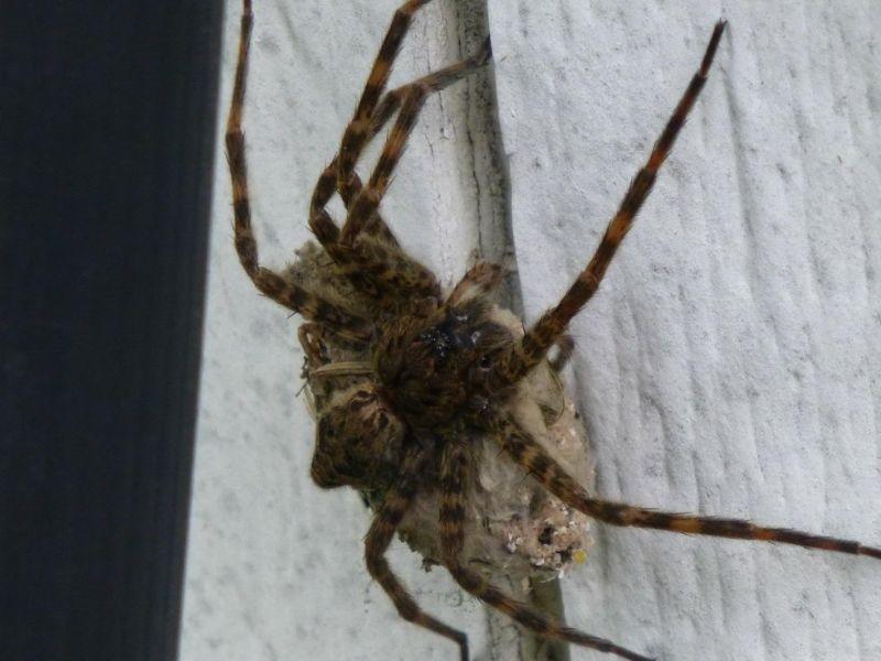 pregnant_spider_03