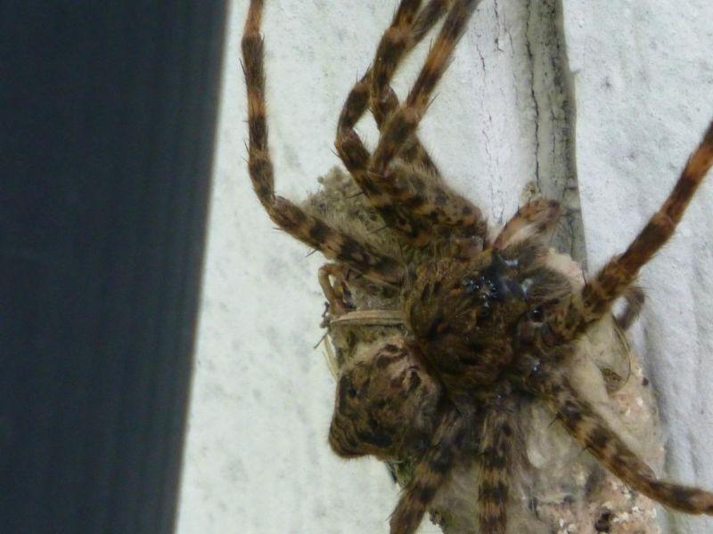 pregnant_spider_04