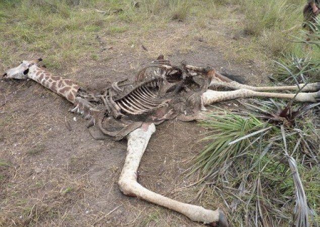 kill_giraffes_03
