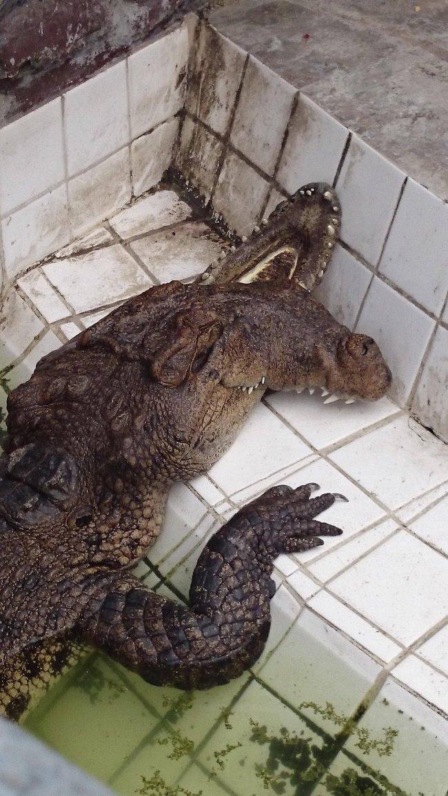 krokodil_01