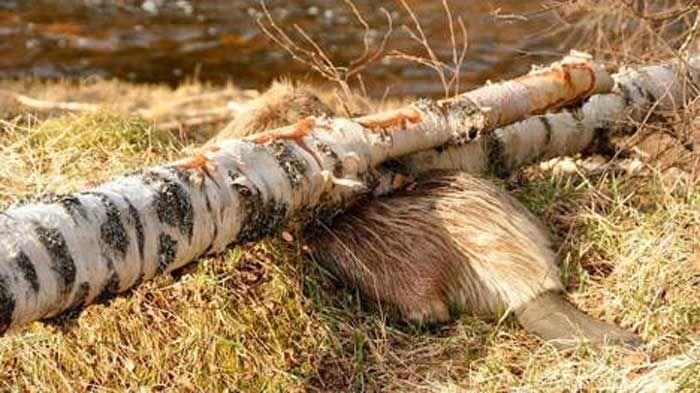 beaver_tree_01