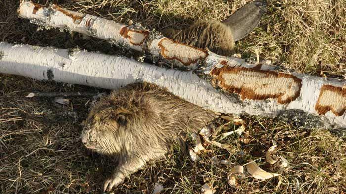 beaver_tree_02