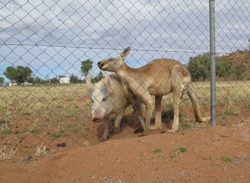 kenguru-i-svinja_02