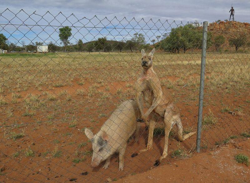 kenguru-i-svinja_03