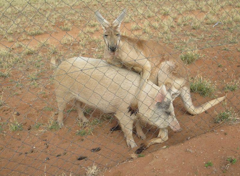 kenguru-i-svinja_04