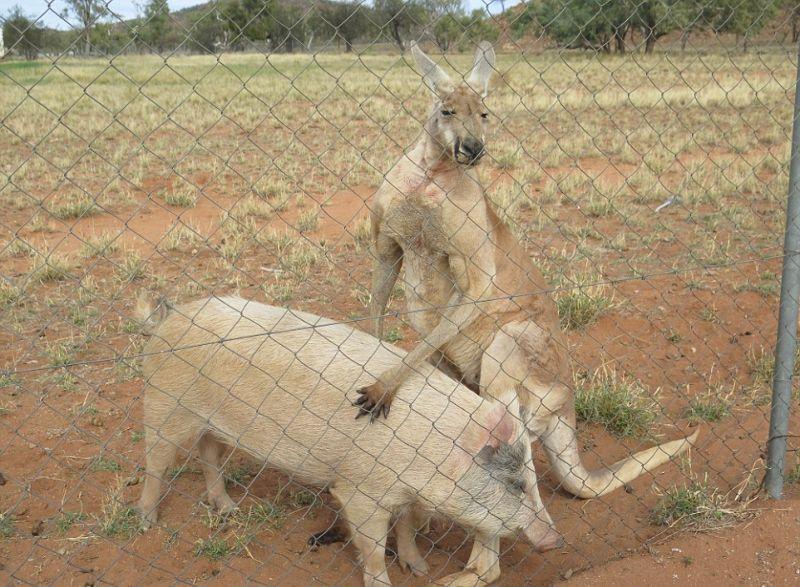 kenguru-i-svinja_05