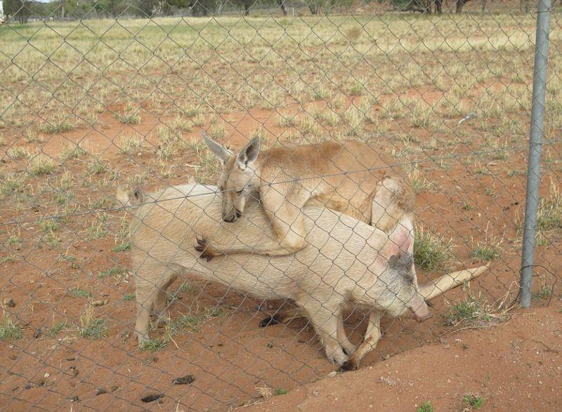 kenguru-i-svinja_06