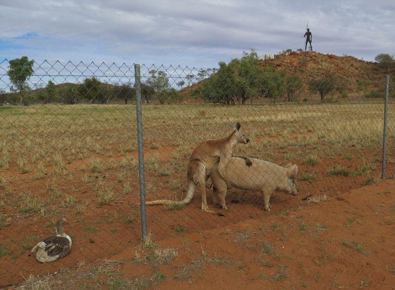 kenguru-i-svinja_09