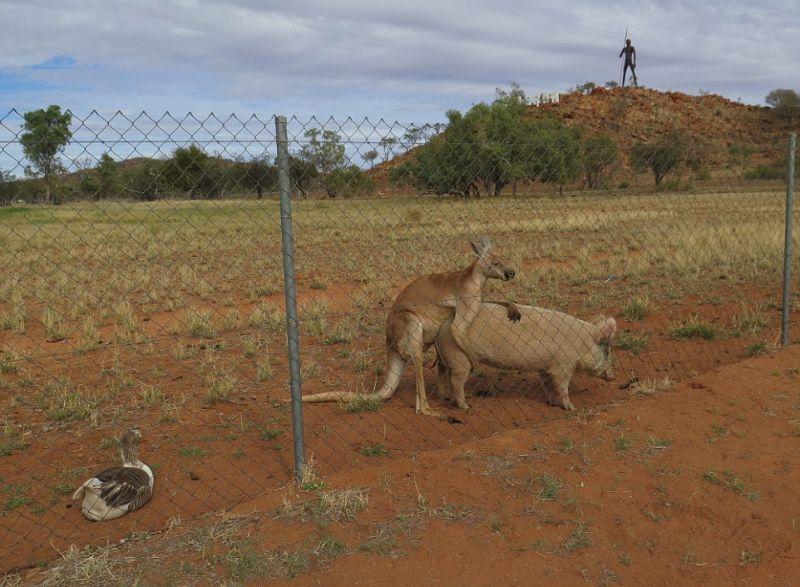 kenguru-i-svinja_10