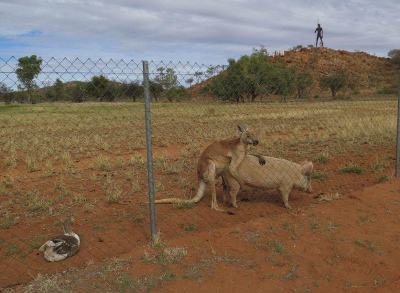 kenguru-i-svinja_11