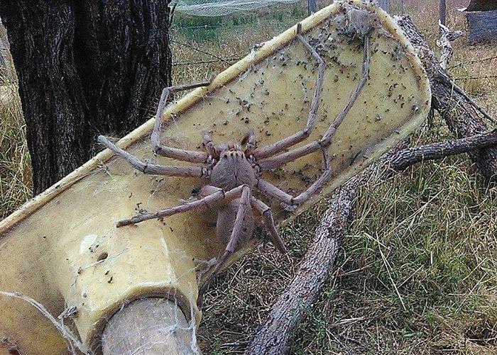 urodru20161103giant_spider_02