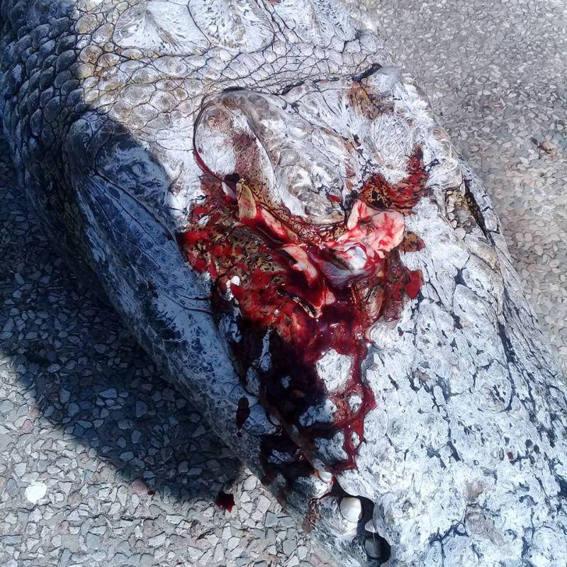 ubijstvo-krokodila_01