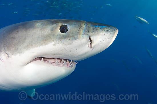 great-white-shark-70M2659-29