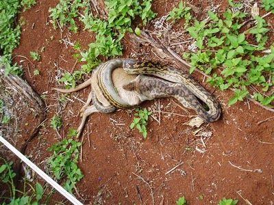 Snake Eating a Kangaroo 02