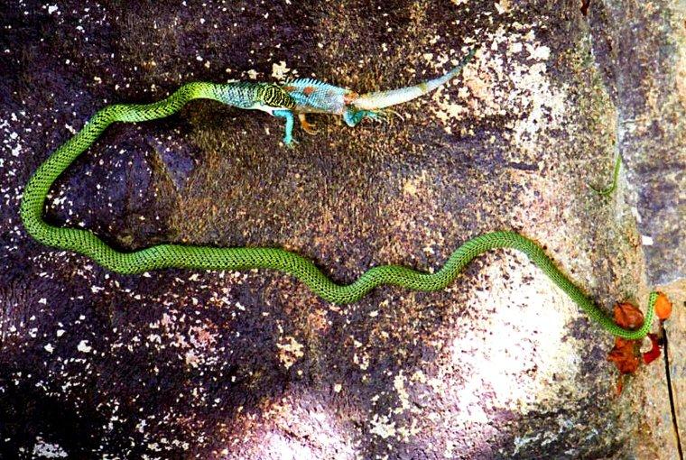 Snake_eating_a_lizard