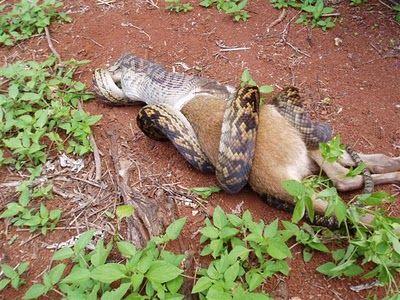Snake Eating a Kangaroo 04