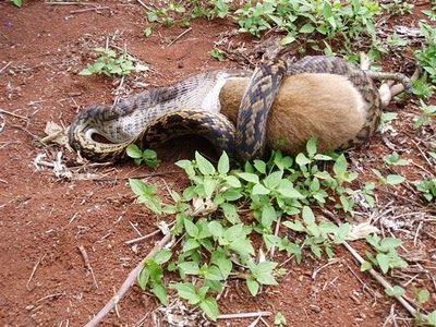 Snake Eating a Kangaroo 05