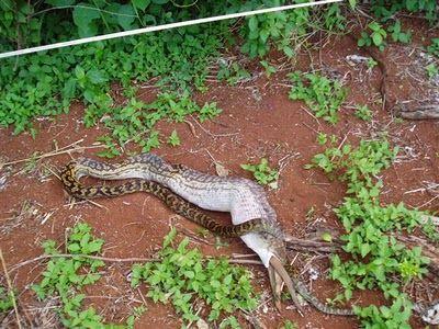 Snake Eating a Kangaroo 09