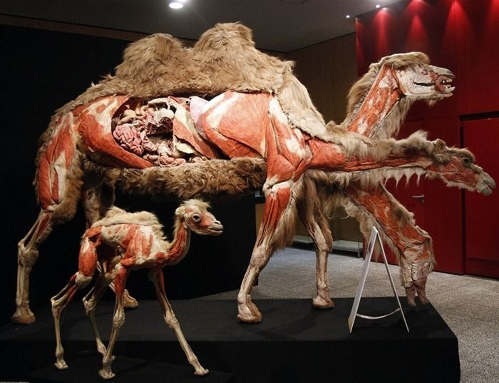 body-world-animals3[2]