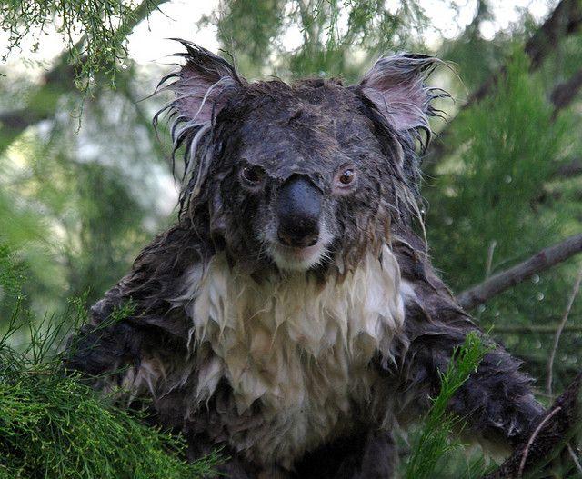 have_you_ever_seen_a_wet_koala_640_02