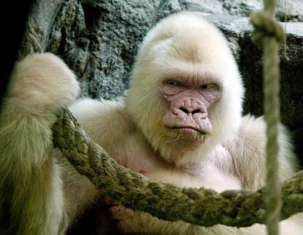 nm_gorilla_080411_ssh