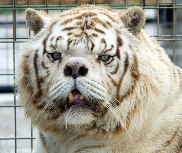 LiveLeak-dot-com-a9f424b2414d-inbred-white-tiger-kenny-3