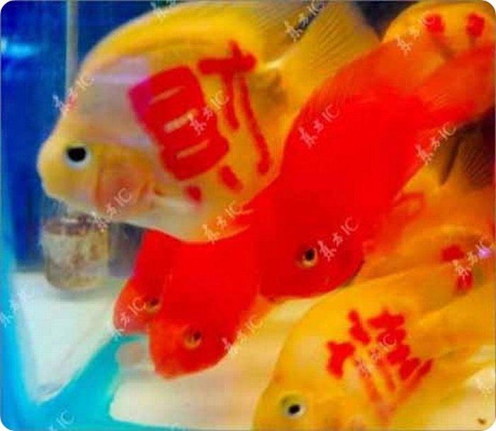 gold_fish_08
