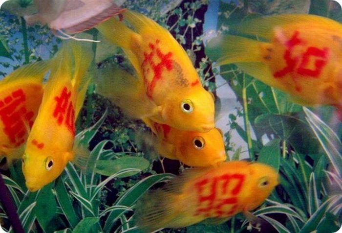 gold_fish_03