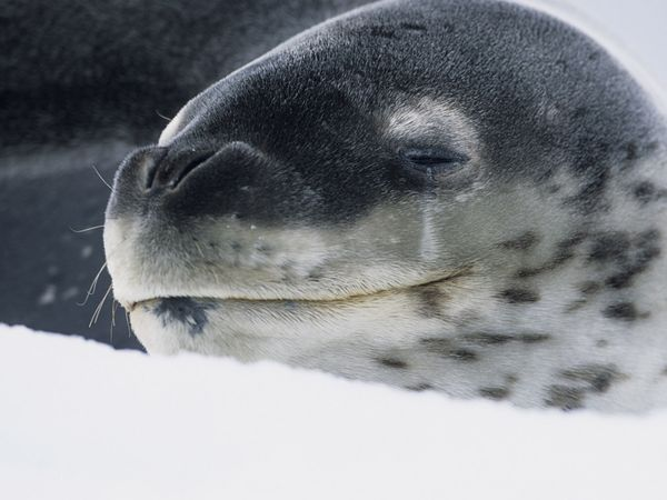 leopard-seal_608_600x450