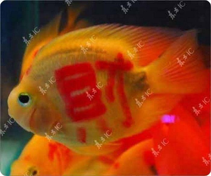 gold_fish_10