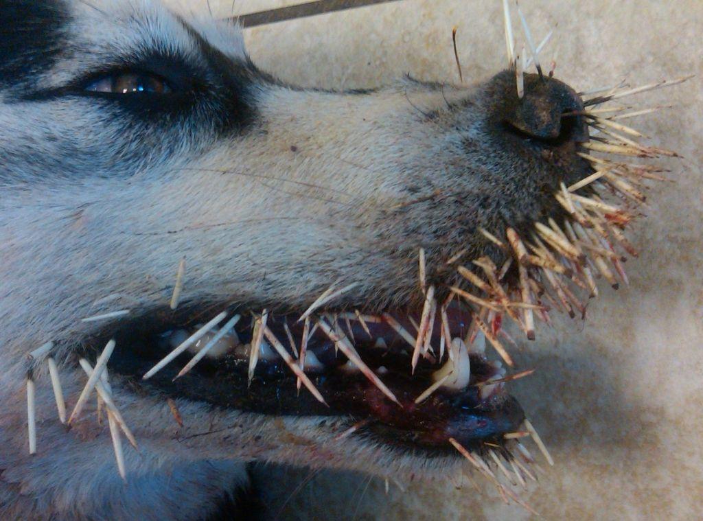 dog_vs_porcupine_02
