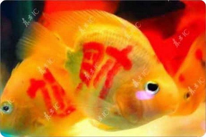 gold_fish_07