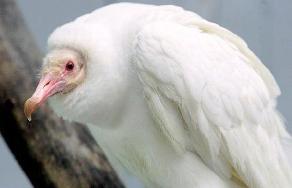albino-35-600x387