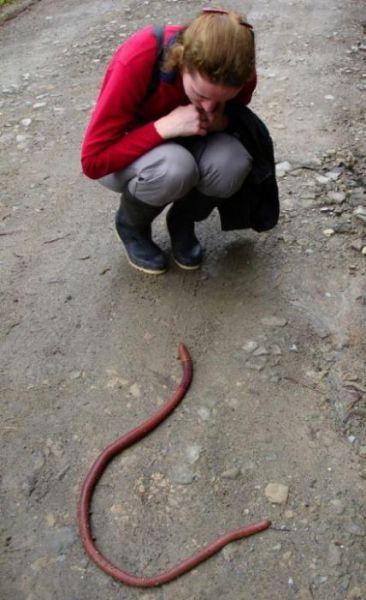 australian_giant_earthworm_640_03