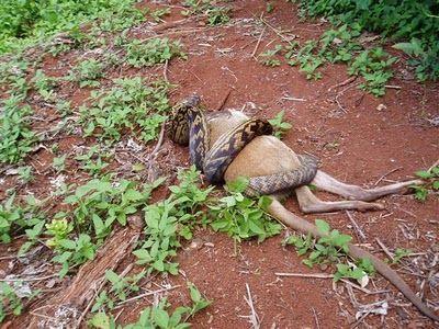 Snake Eating a Kangaroo 01