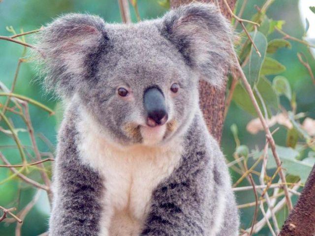 have_you_ever_seen_a_wet_koala_640_01